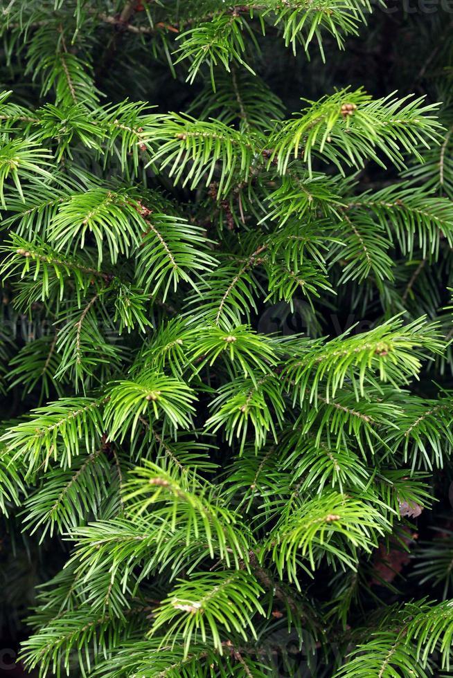 Texture de branches de sapin photo