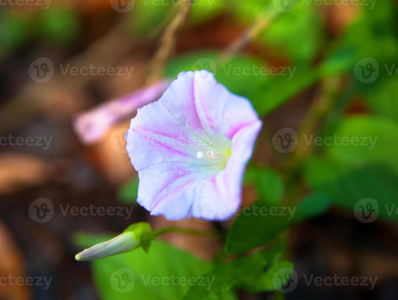 fleur de gloire du matin en fleurs violettes photo
