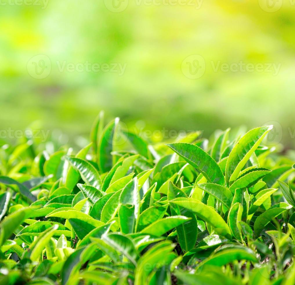 gros plan de feuilles de thé. plantations de thé en Inde photo