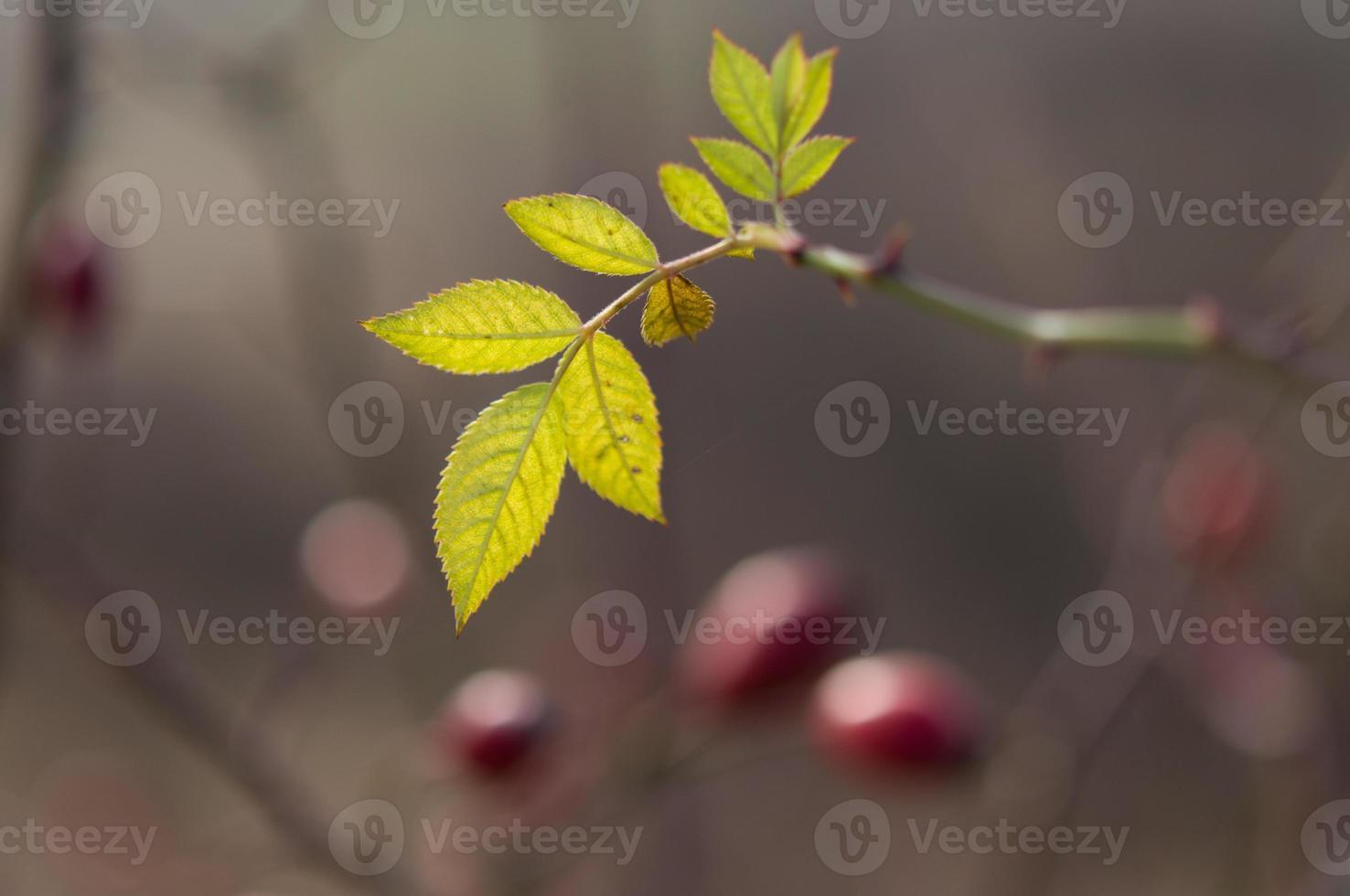 feuilles de bruyère photo