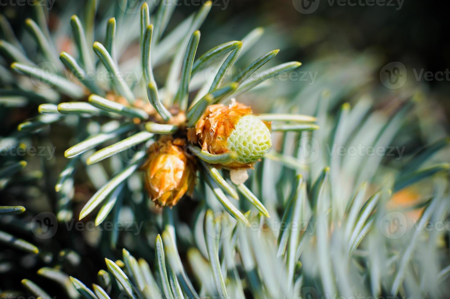 quelques bourgeons à la branche de l'épinette bleue photo