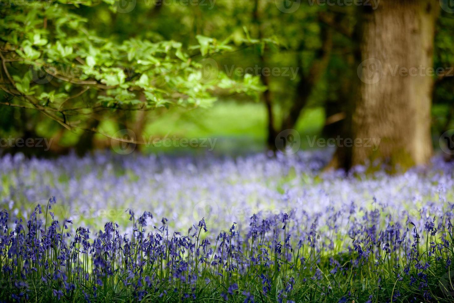 jacinthes en bois de chêne photo
