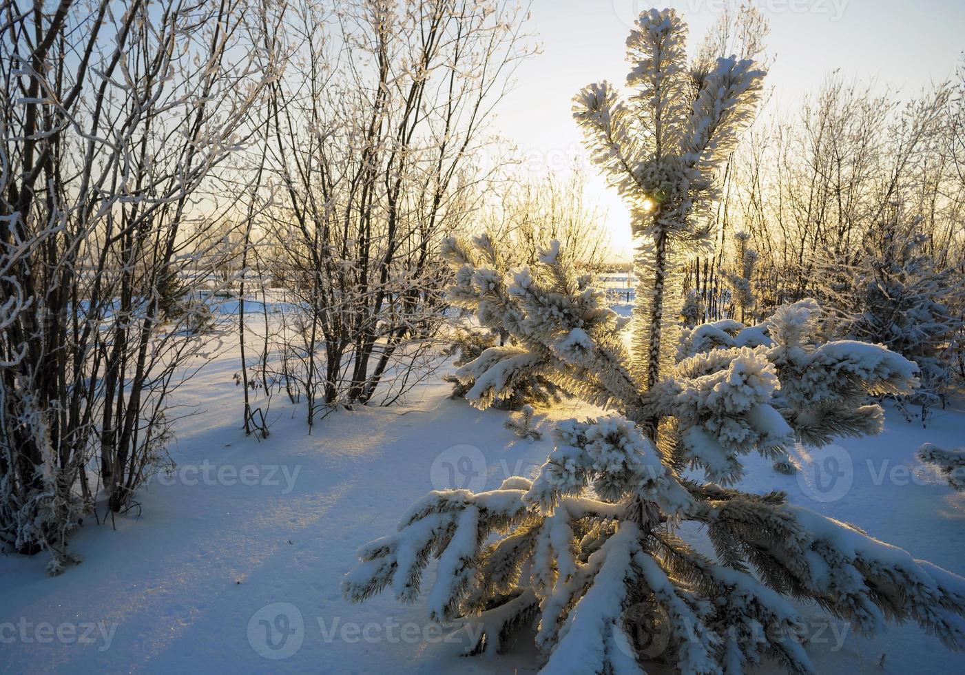 pin dans la neige au coucher du soleil photo