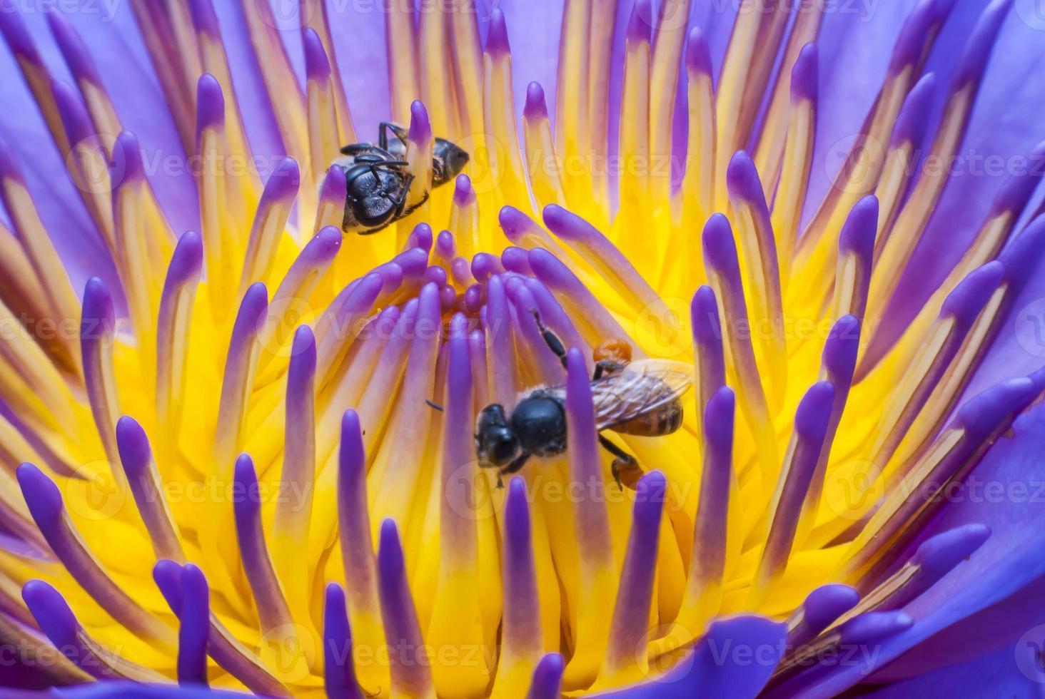 abeille sur belle fleur de lotus. photo