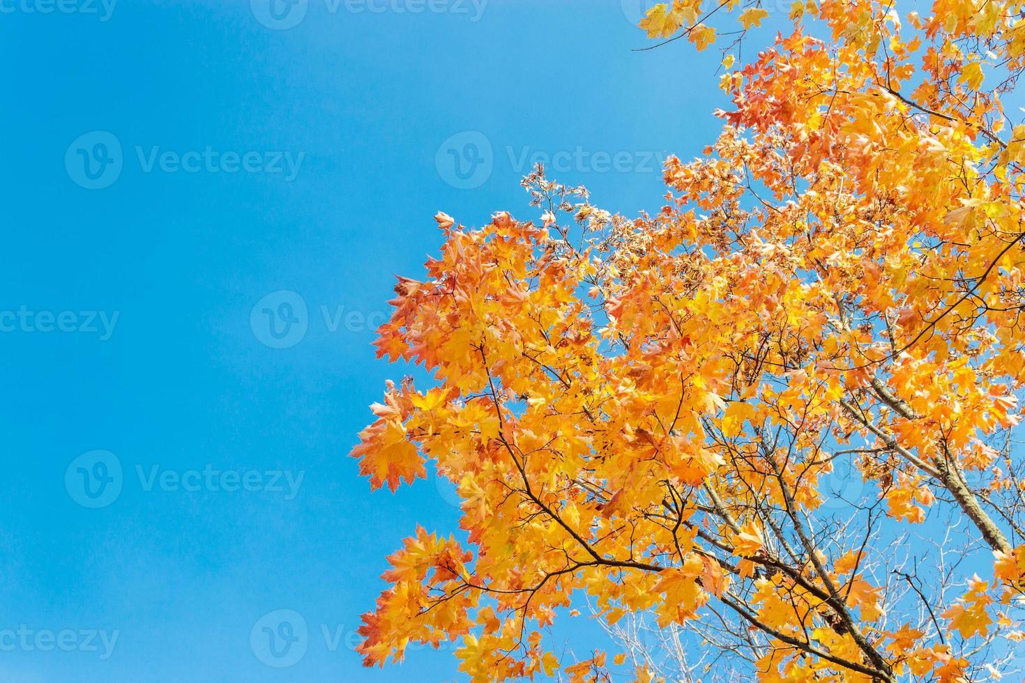 feuilles d'érable photo