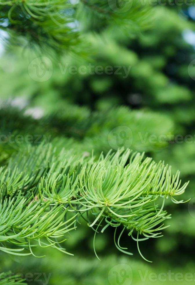 jeunes pousses sur les branches d'épinette, gros plan photo