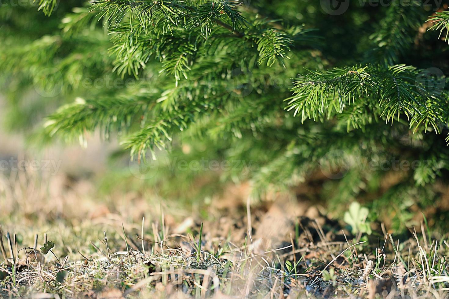 fond vert branches mélèze photo