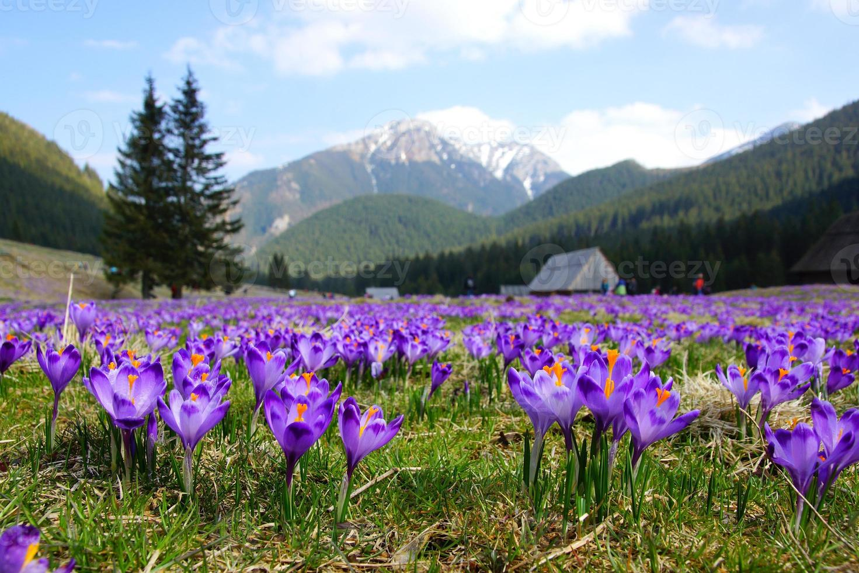 Crocus dans la vallée de Chocholowska, montagnes Tatra, Pologne photo
