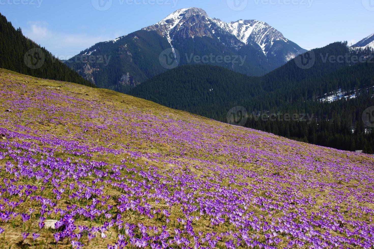 Crocus dans la vallée de la Chocholowska, Tatra Mountain, Pologne photo