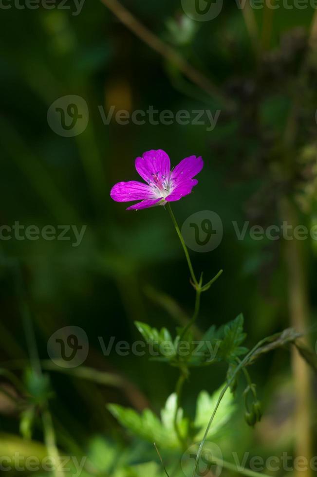 Fleur rose de géranium des bois gros plan photo