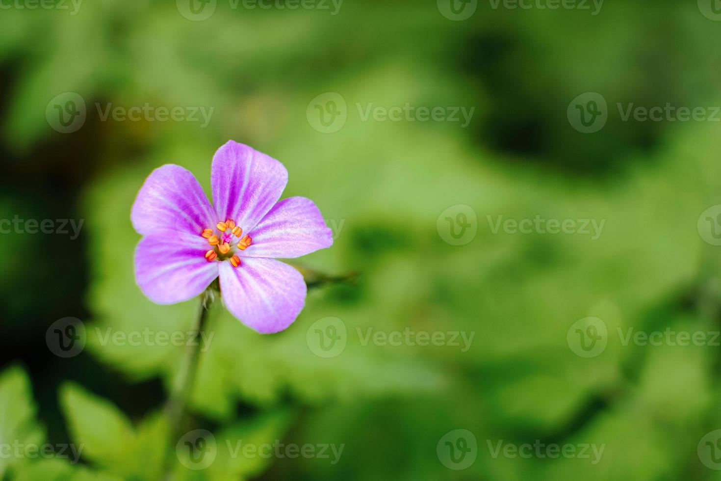 Photo macro de géranium robertianum