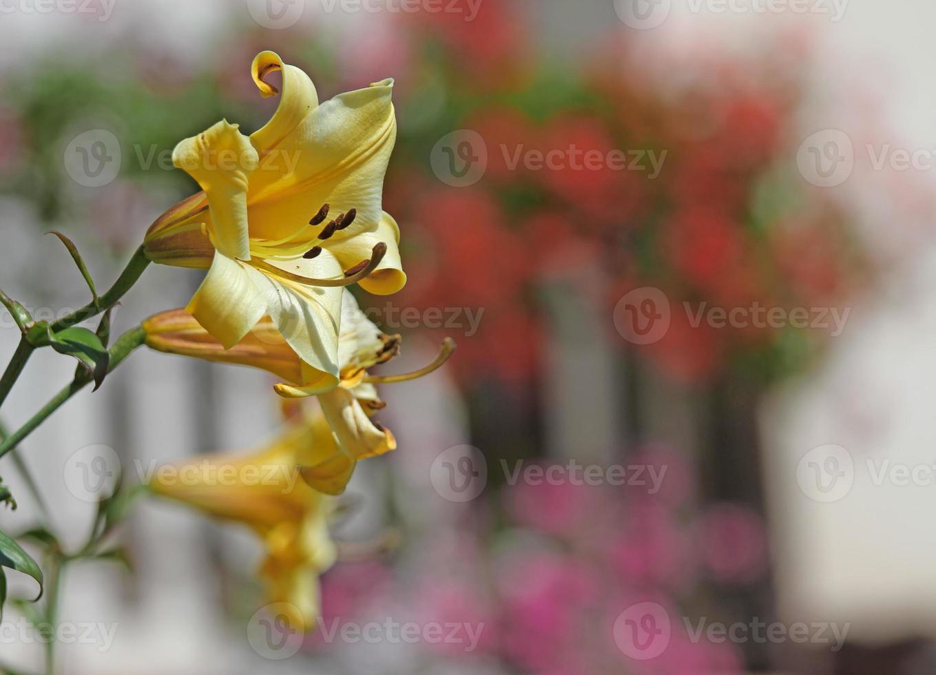 grande fleur de lys des montagnes jaune photo