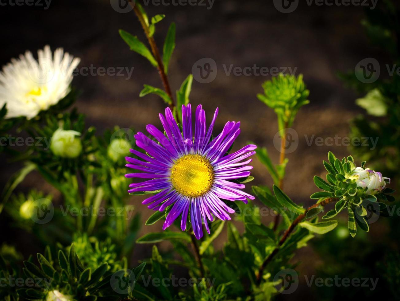 fleurs d'automne aster rose et violet photo