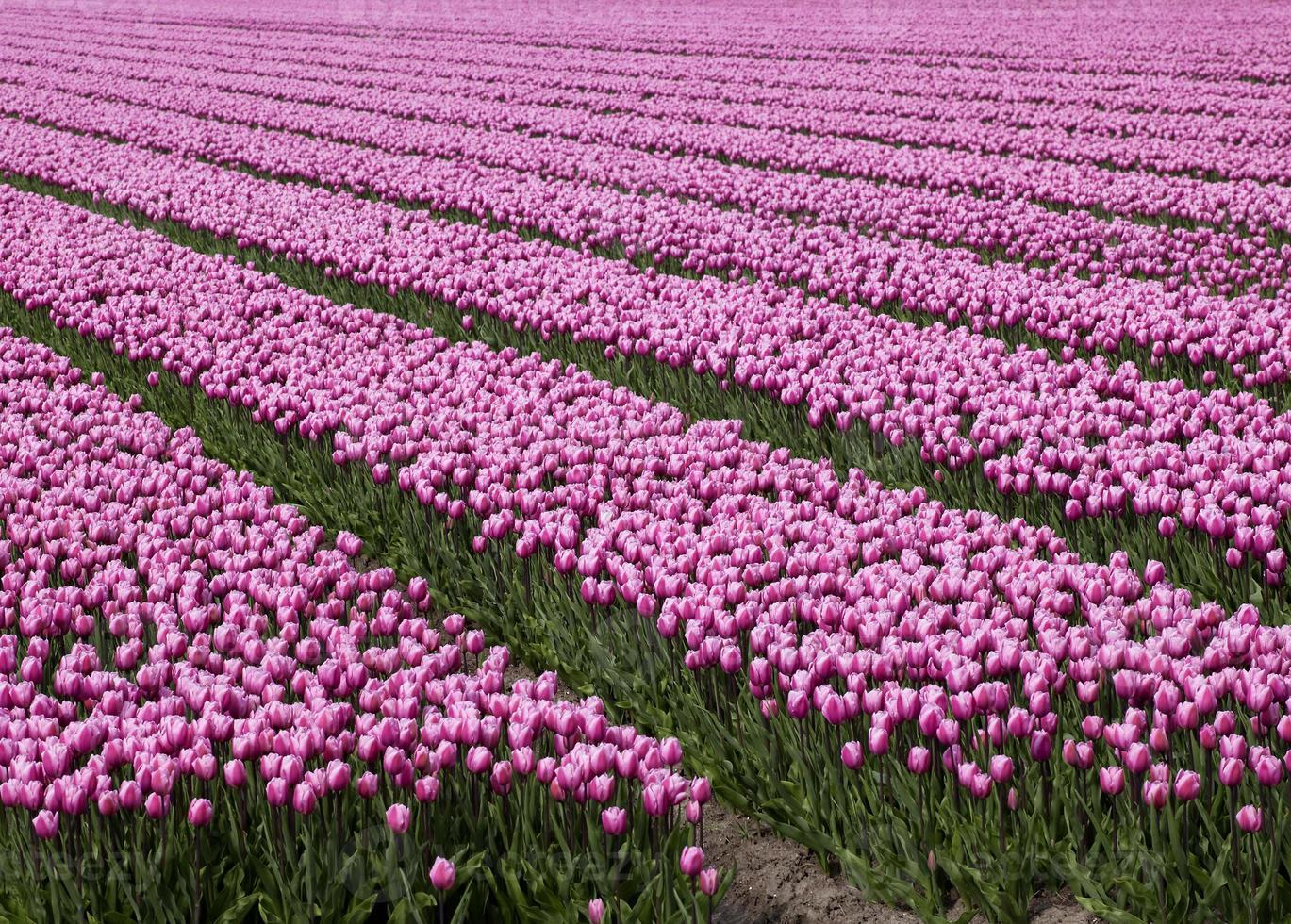 océan de tulipes roses photo