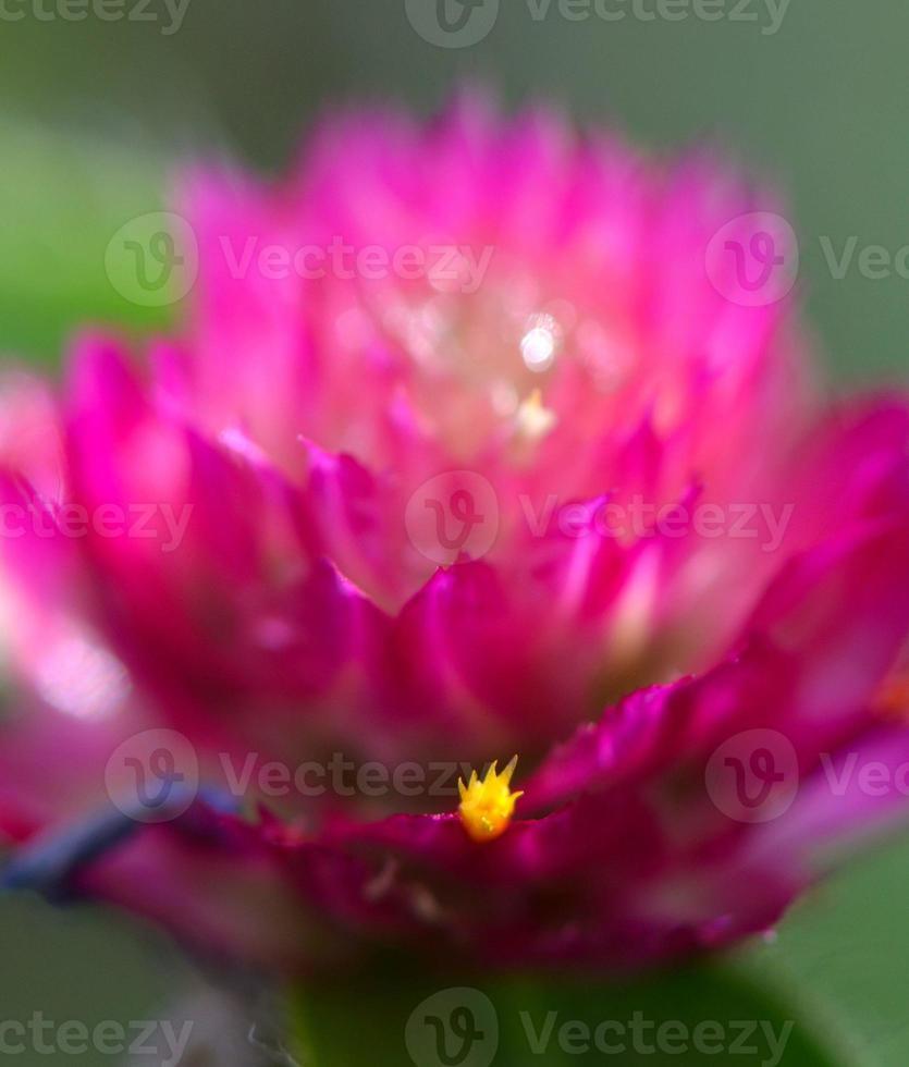 fleur rose avec petite fleur jaune photo