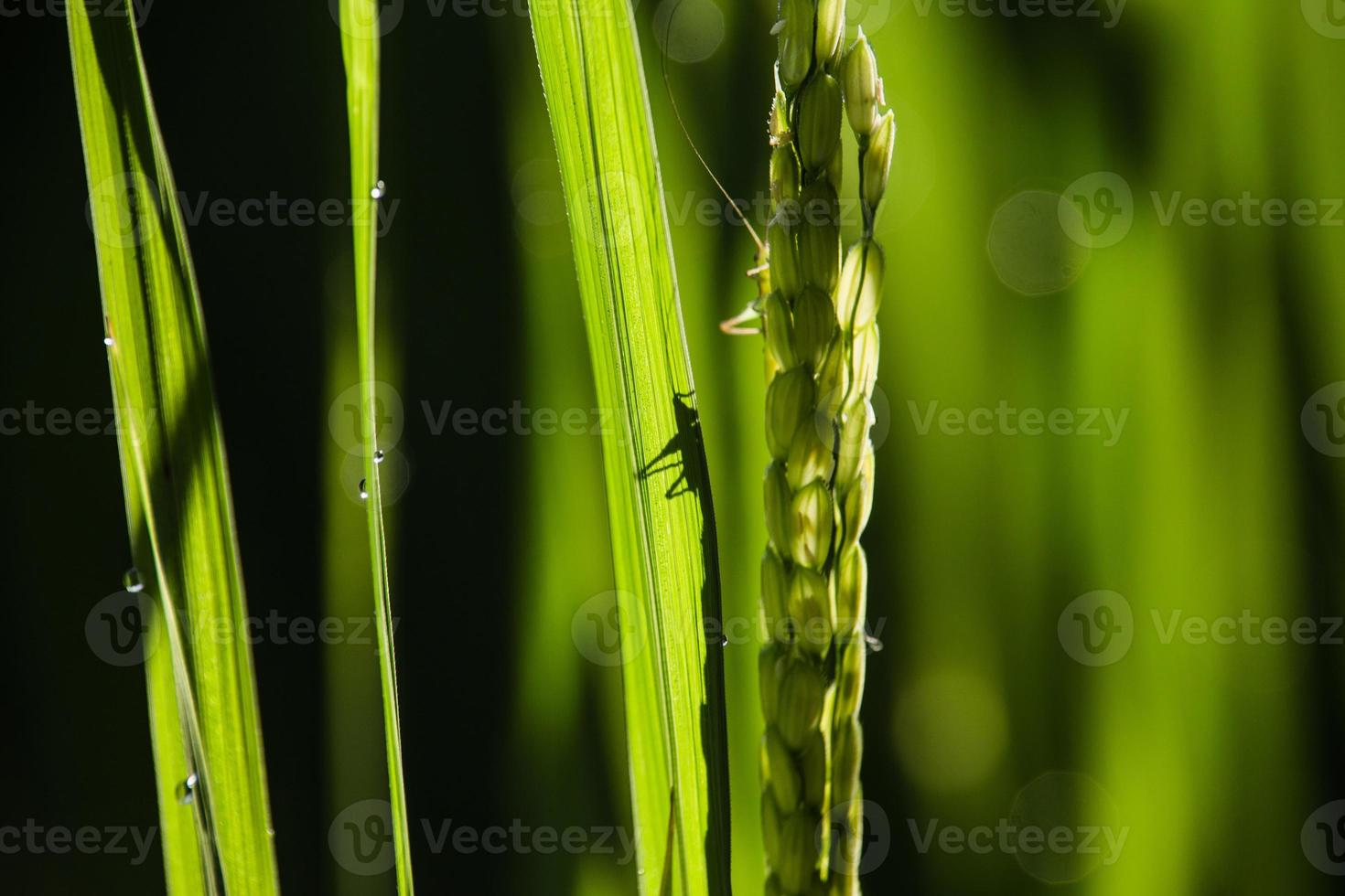 sauterelle sur plante céréalière photo