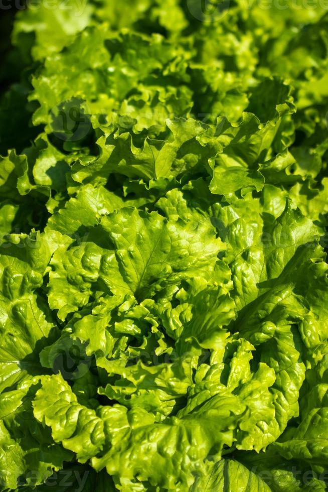 fond de plante de légumes salade photo