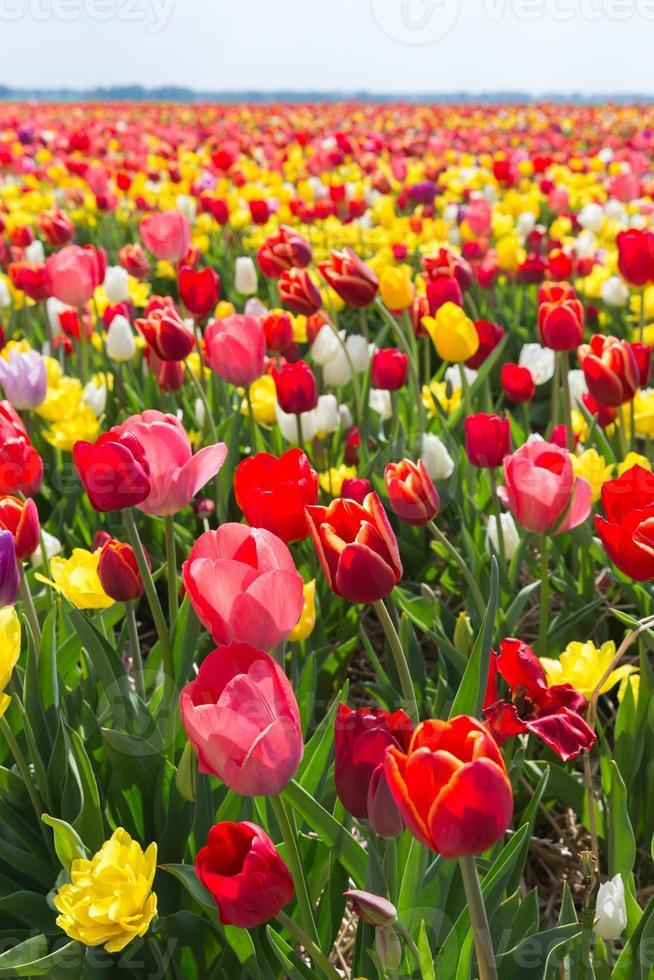 champ de tulipe multicolore photo
