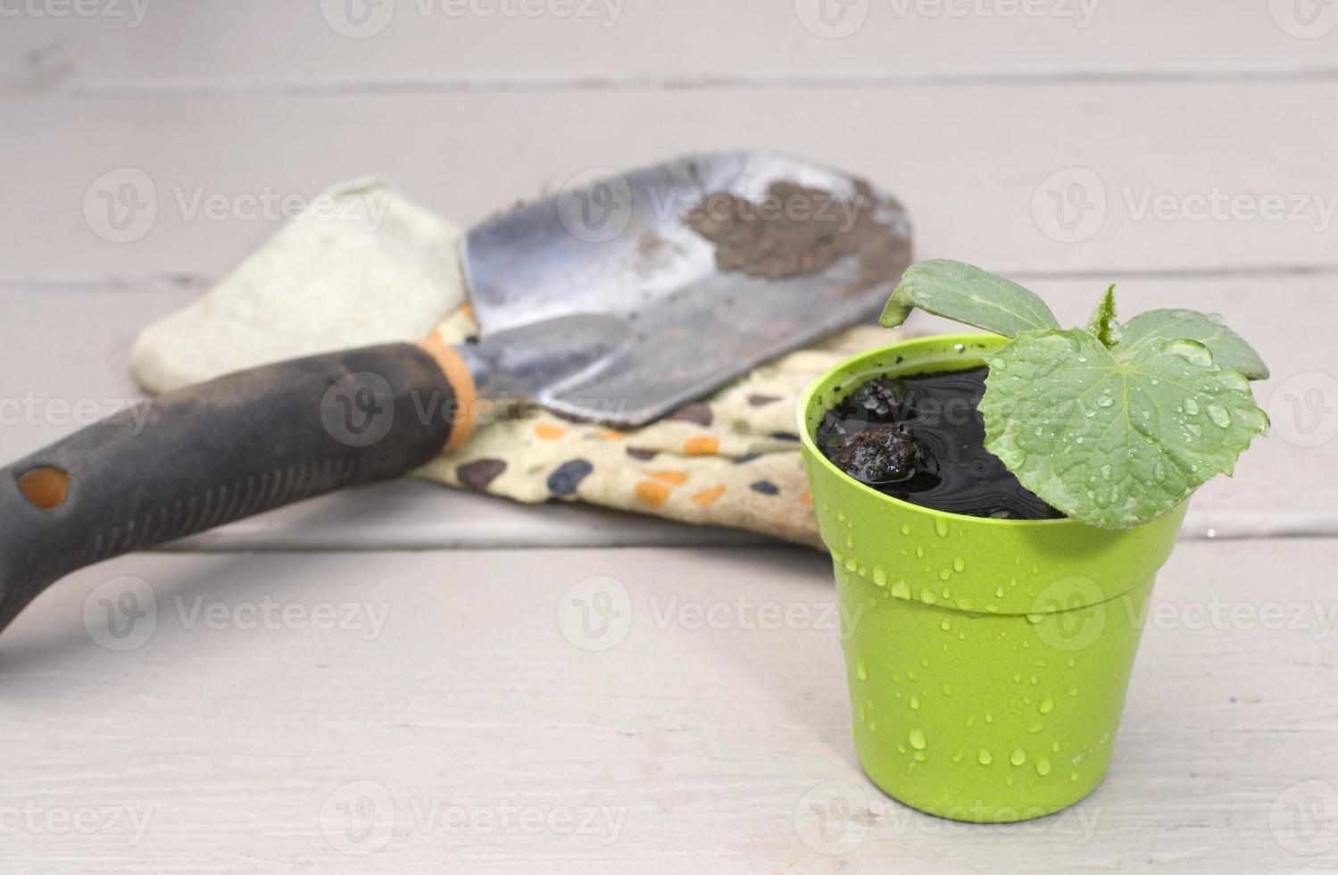 Usine de concombre bébé avec pelle et gant photo