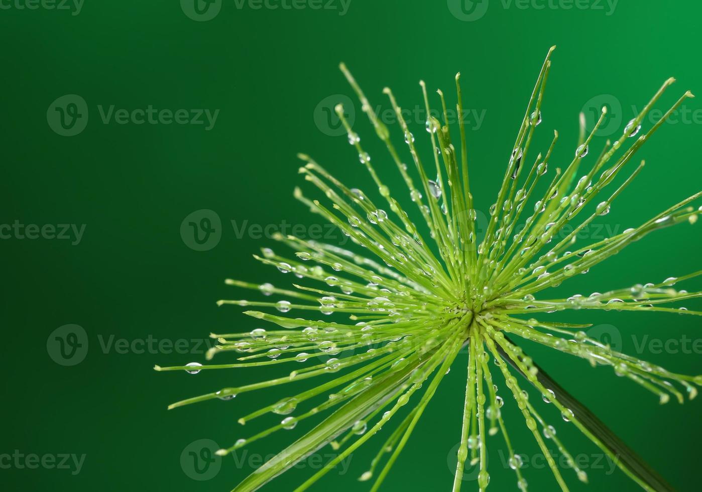 plante fraîche avec des gouttes d'eau sur fond vert photo