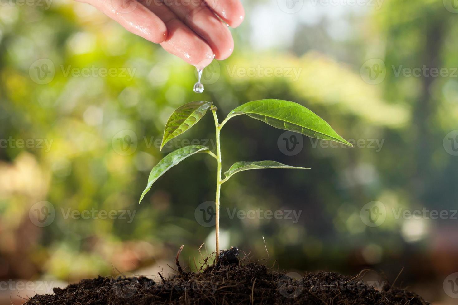 La main de l'agriculteur arrosant une jeune plante avec fond vert bokeh photo