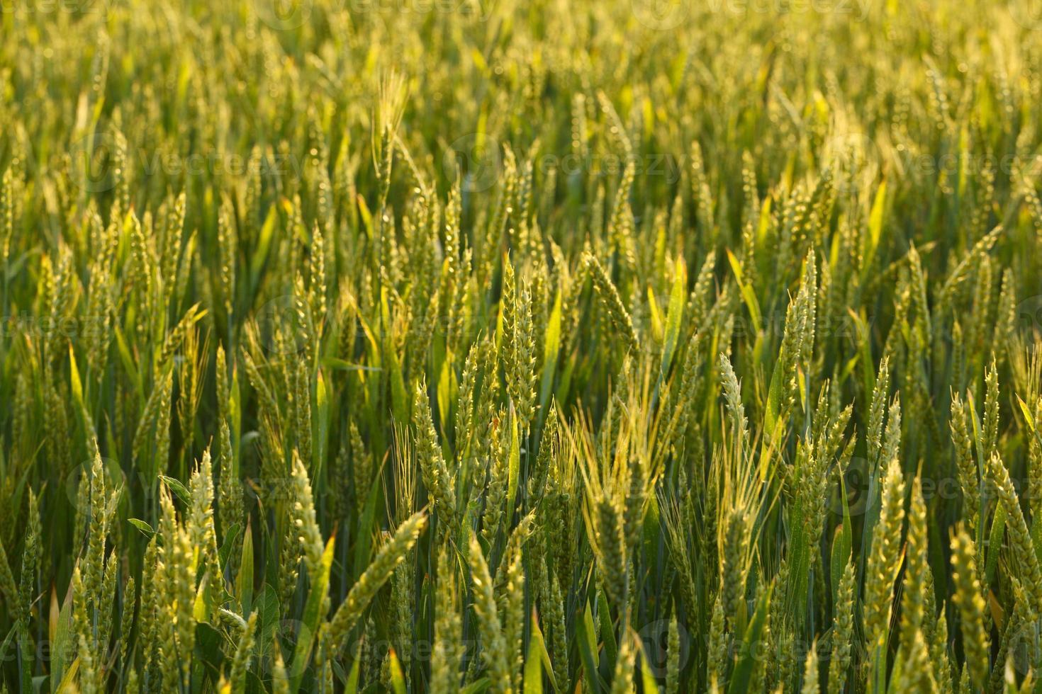 champ de blé photo