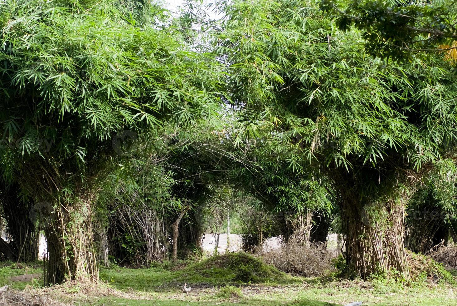 bosquet de bambous photo