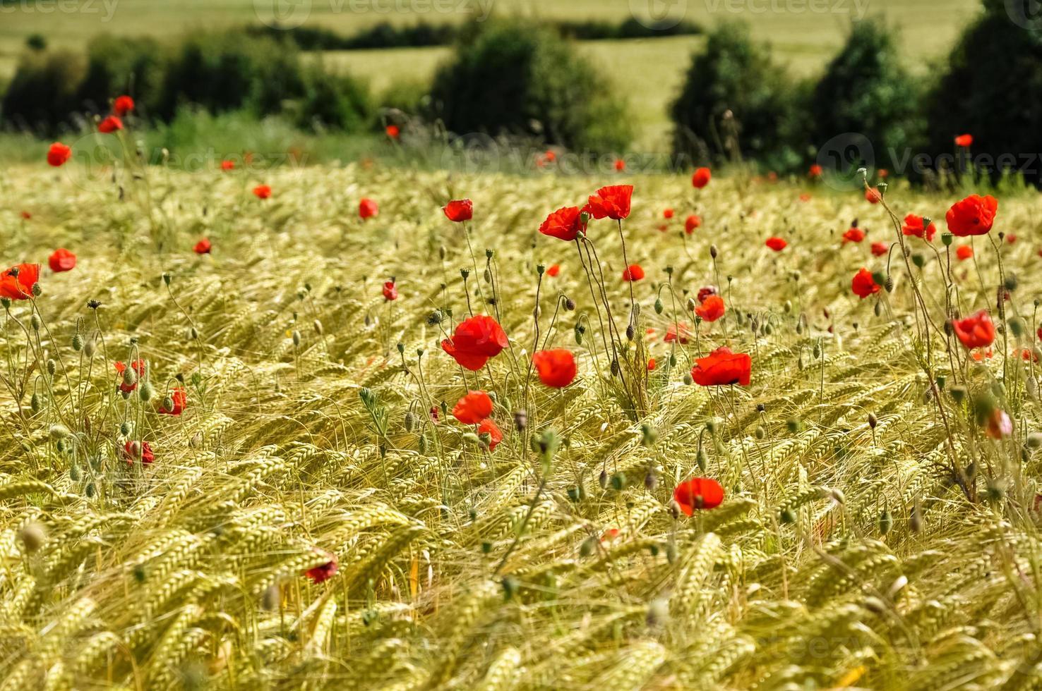 coquelicots dans un champ de blé photo