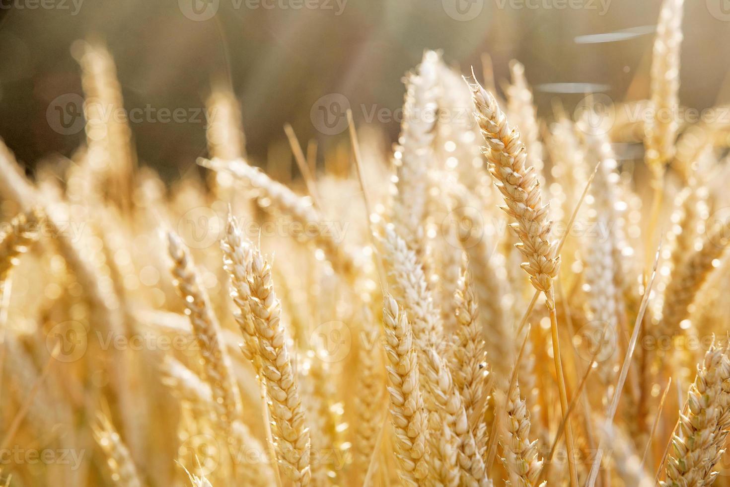 champ de céréales de couleur or photo