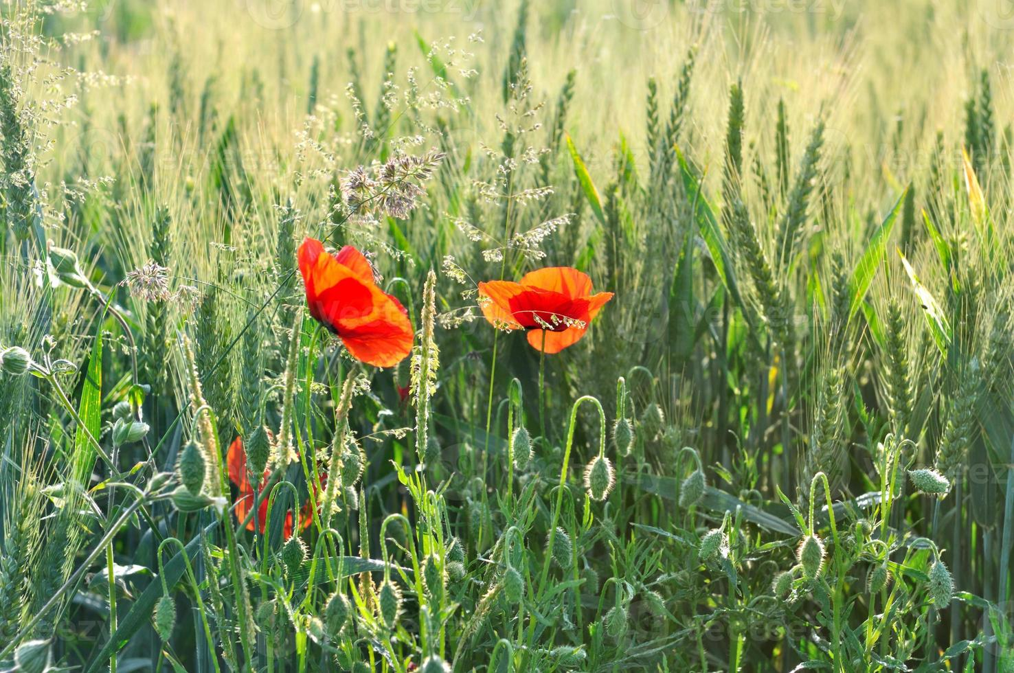 coquelicots dans le champ photo