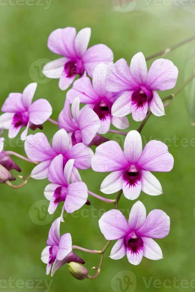 fleurs d'orchidées roses photo