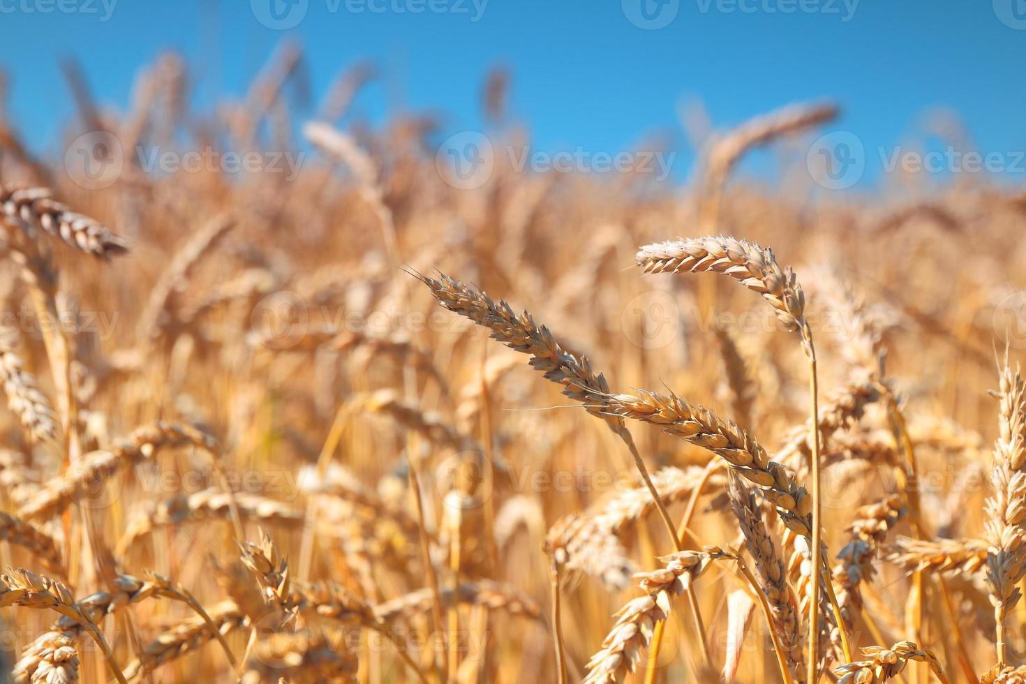 champ de blé et ciel bleu photo