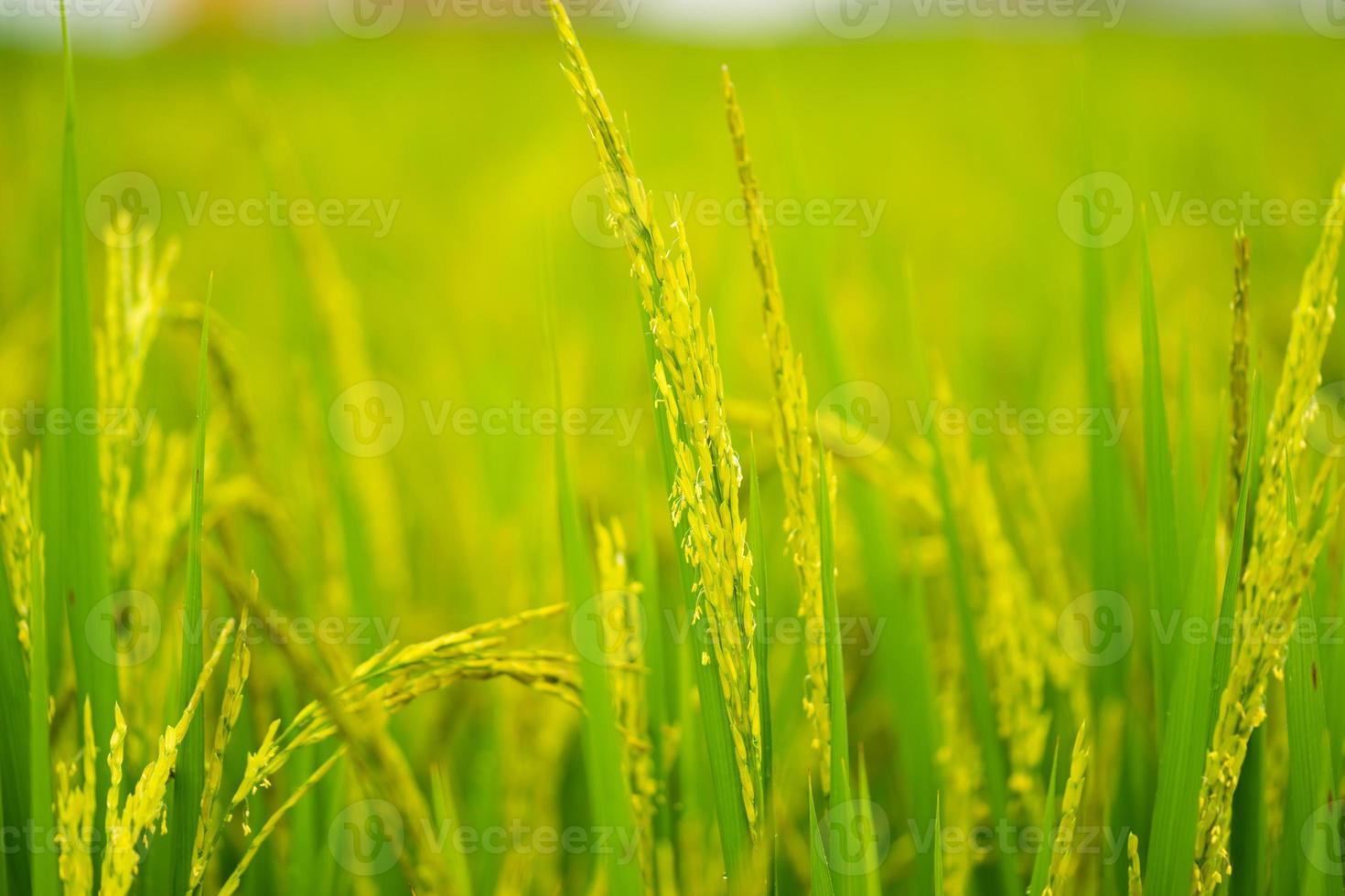 la maturation du grain dans le champ photo