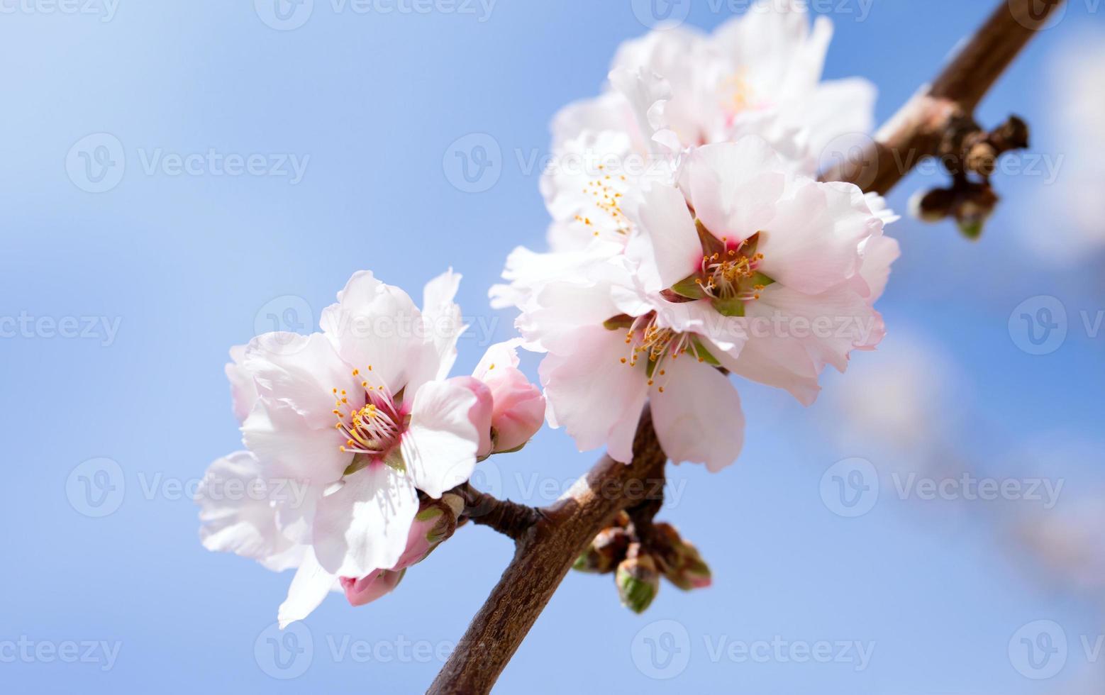 amandier en fleurs photo