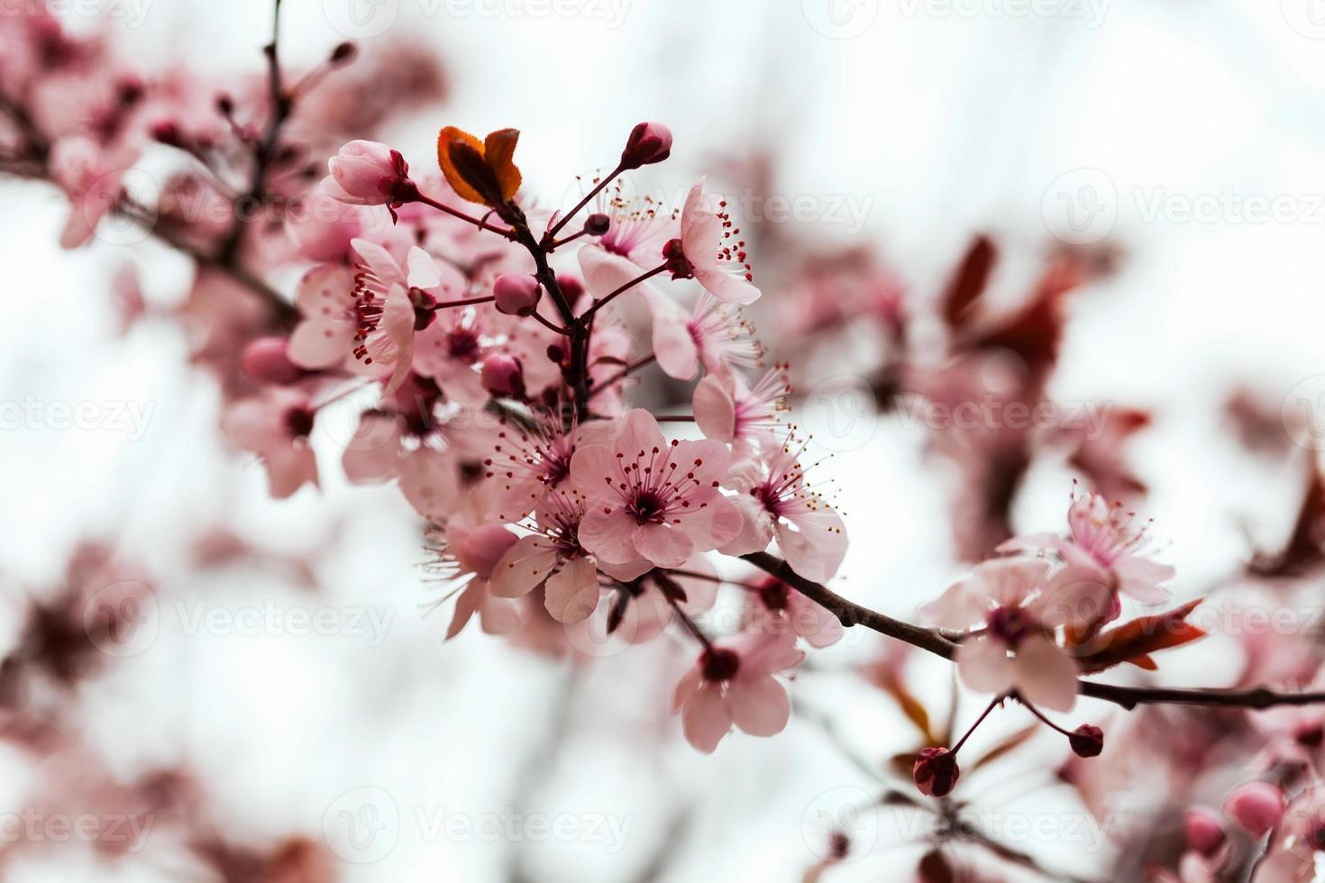branche d'amande avec des fleurs photo