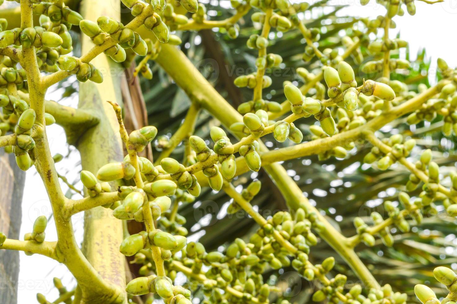 palmier à graines vertes photo
