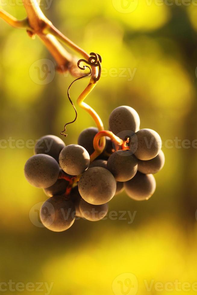 raisins mûrs photo