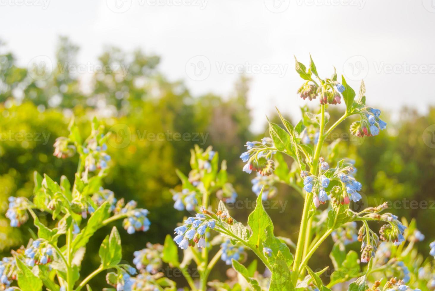 fleurs sauvages bleues photo