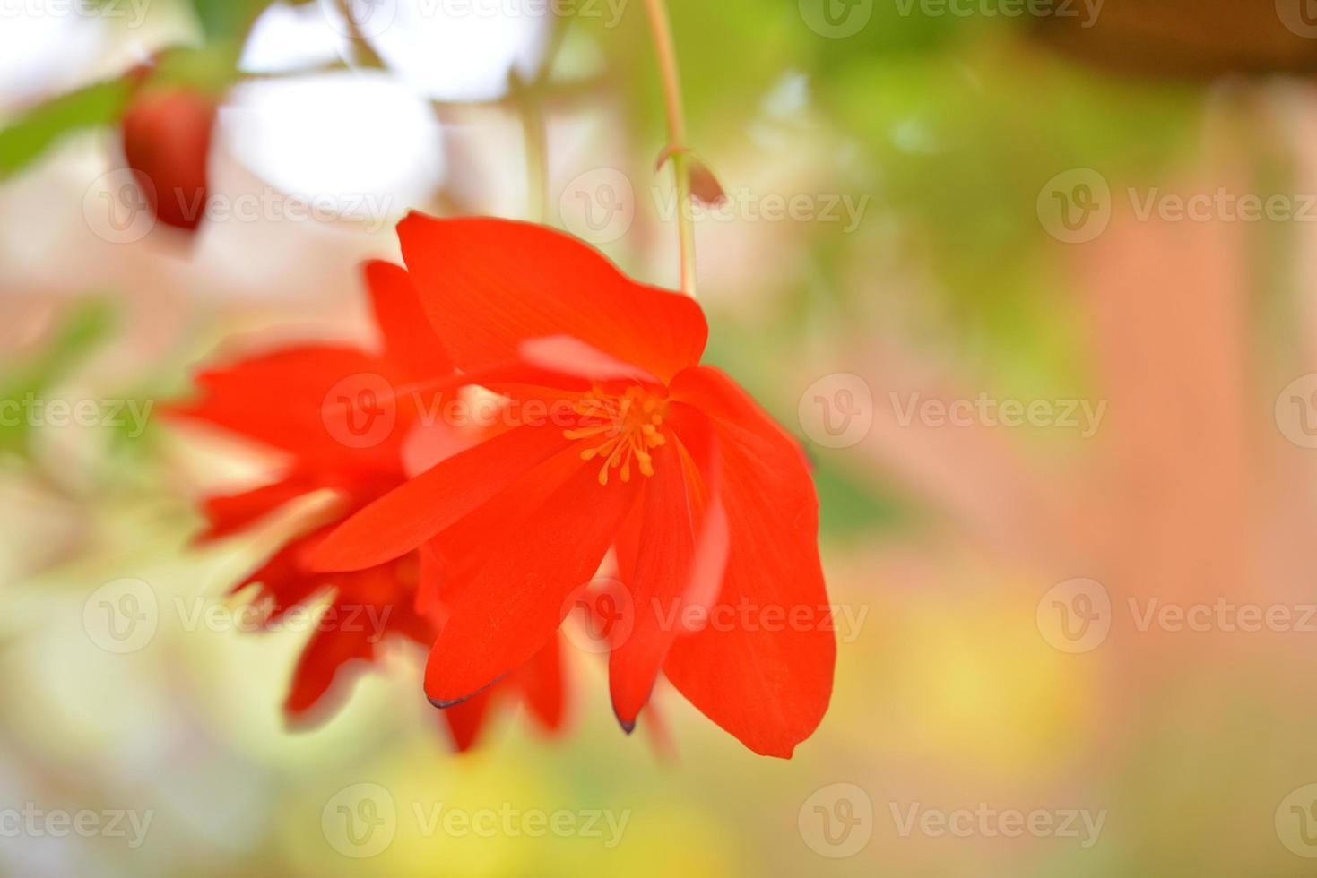 fleurs de bégonia photo