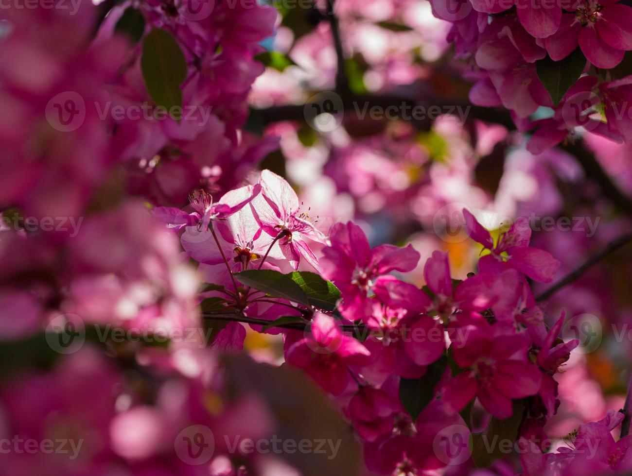 pommier paradisiaque en fleurs, photo