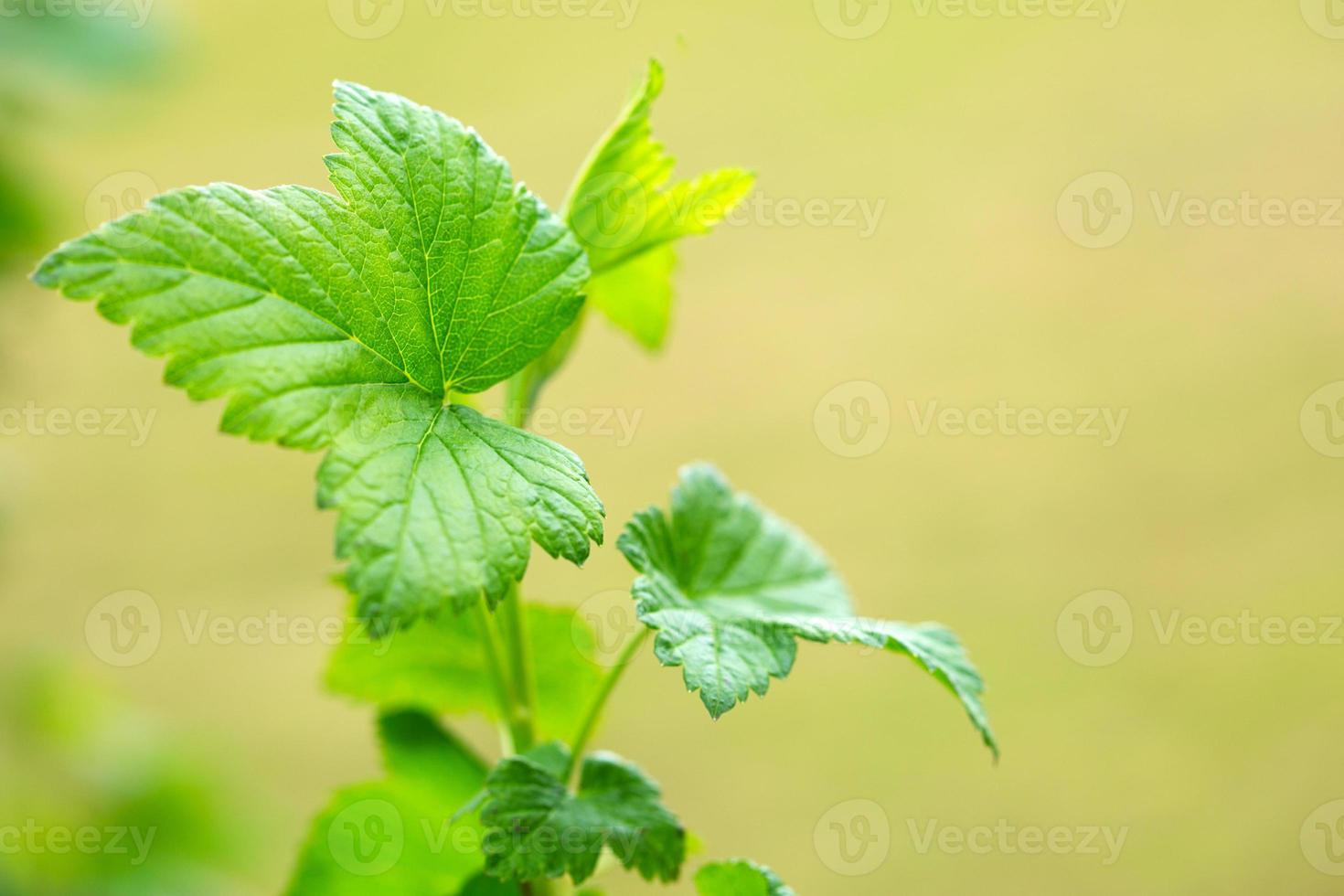feuilles vertes, coup de macro. photo
