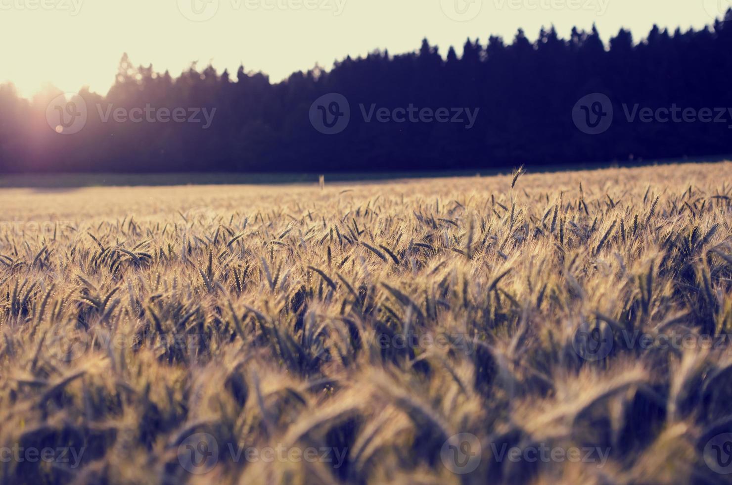 Lever du soleil sur un champ d'épis de blé en cours de maturation photo