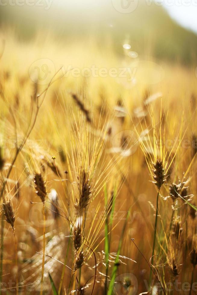 champ de blé doré photo