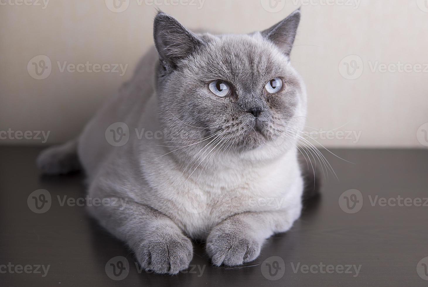 chat britannique à poil court photo