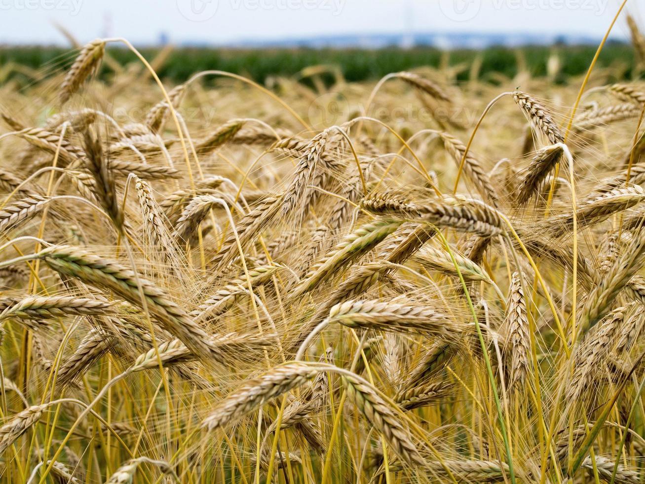 épis de blé jaunes photo