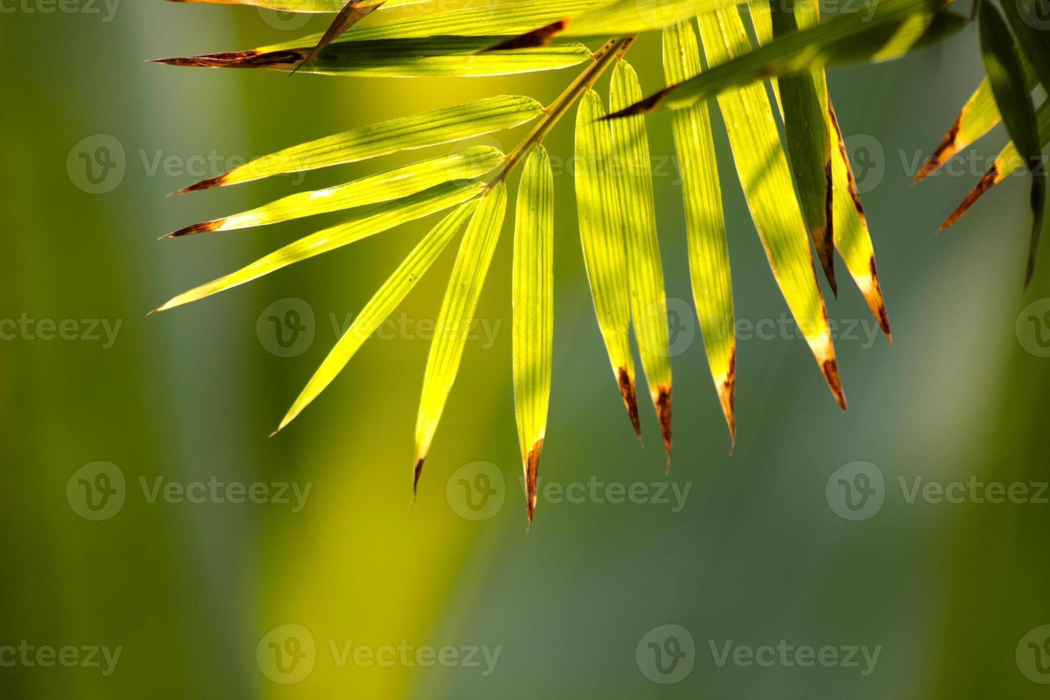 feuilles de bambou. photo