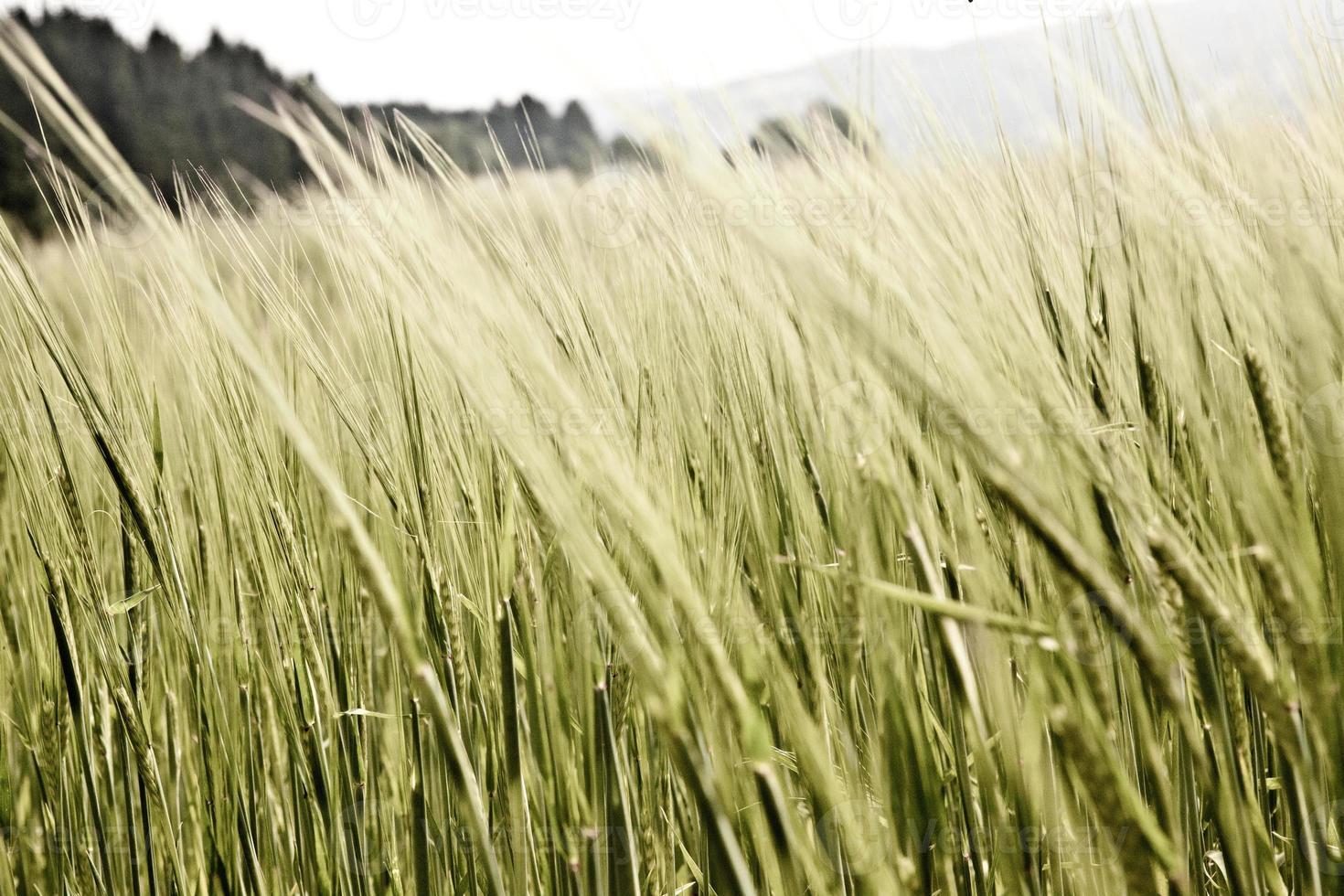 Gros plan du grain mûr / sec photo