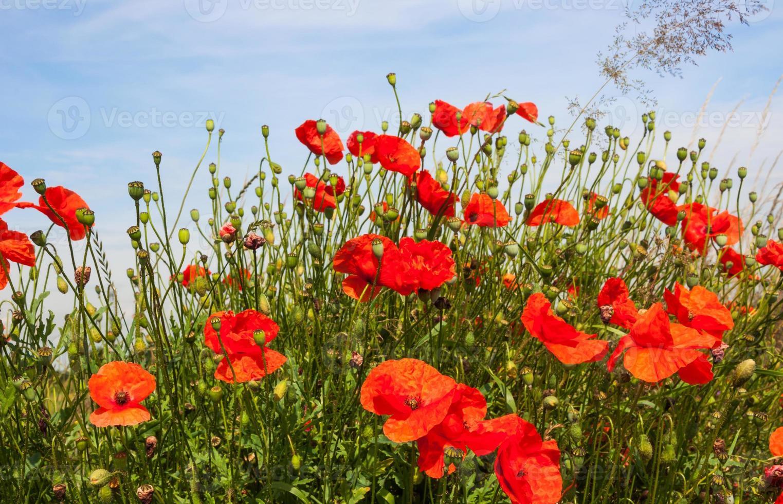 Gros plan de coquelicots à divers stades de croissance et de floraison photo