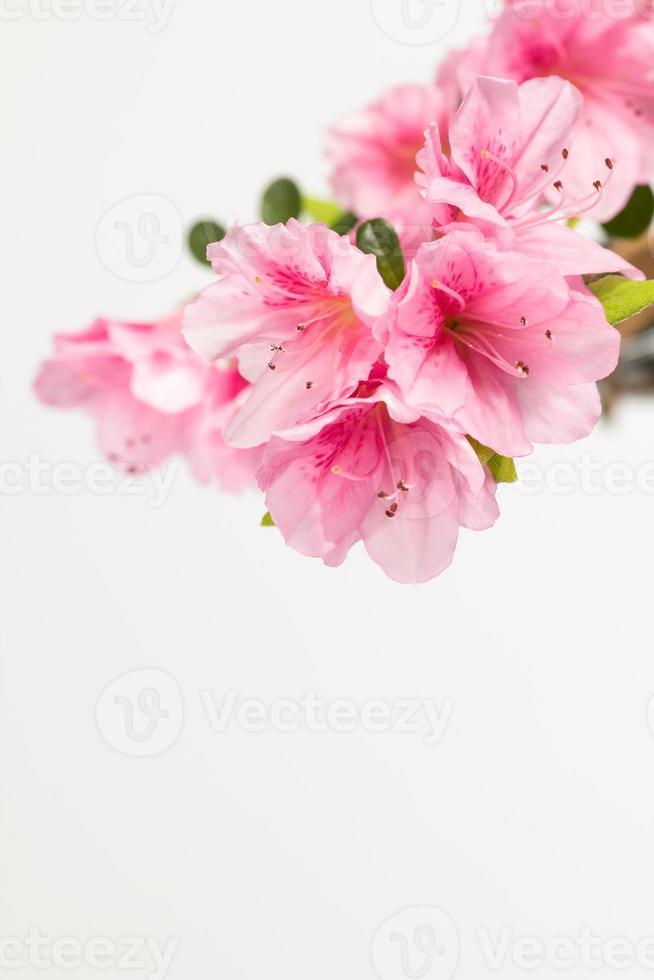 fleurs d'azalée rose photo