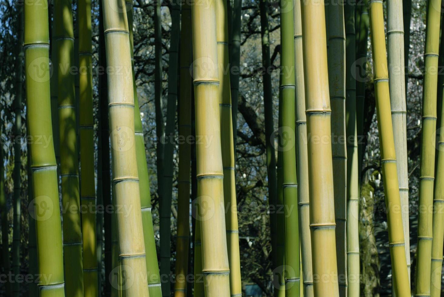 pousses de bambou photo